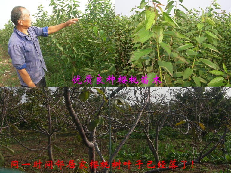 http://www.zhuwensan.cn/dayingtao/对比-1.jpg