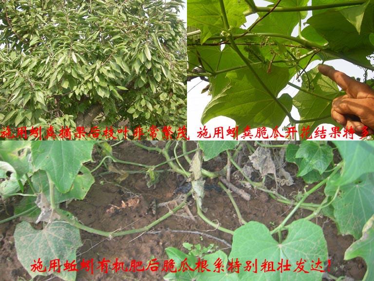 http://www.zhuwensan.cn/dayingtao/对比-3.jpg